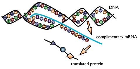 DNA_to_Proteins