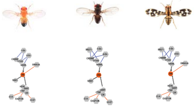 Network rewiring across Drosophila species